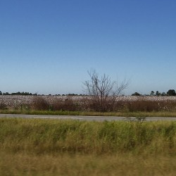 Cotton Fields in Dixie