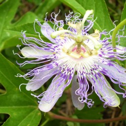 Passionflower (Rock Island State Park, Warren County, Tennessee)