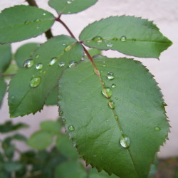 Rose Leaves with Raindrops in Madrid
