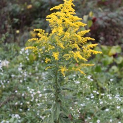 Goldenrod in the Blue Ridge Mountains