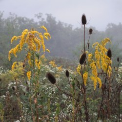 Goldenrod and Baby's Breathe in the Blue Ridge Mountains