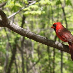 A Cardinal (Radnor Lake State Park, Nashville, Tennessee)